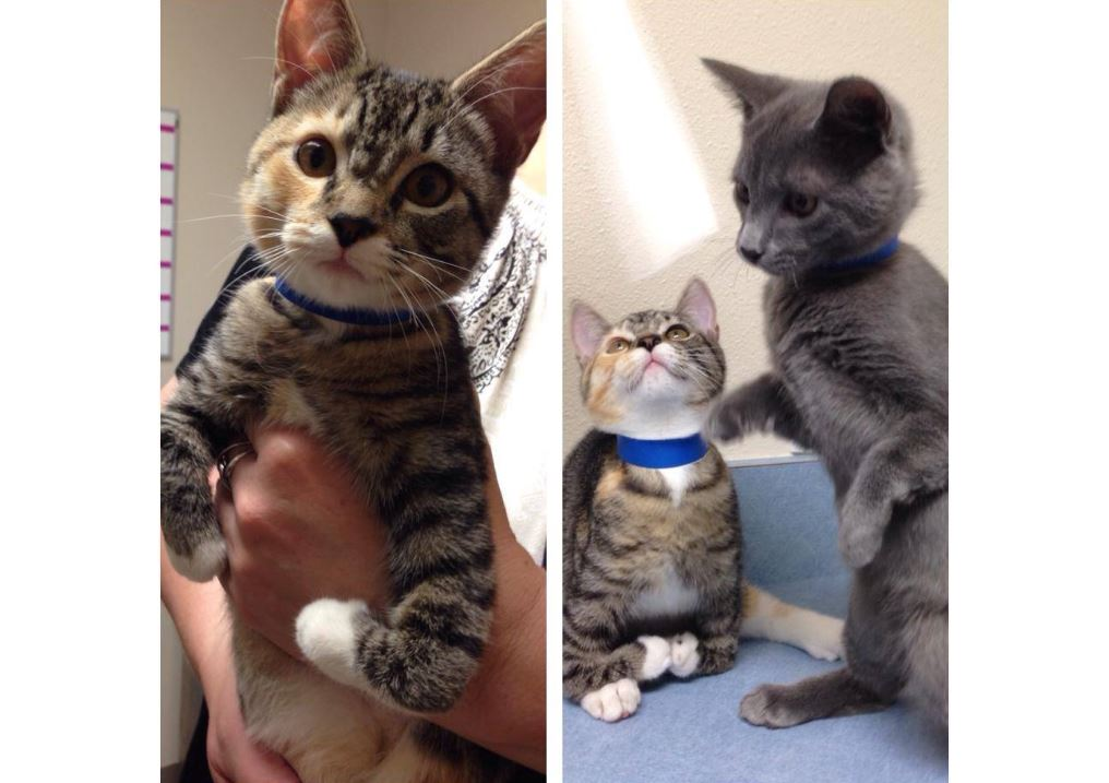 1b2888c29ee8be A pair of sweet kitten siblings born with a congenital deformity causing  bent front legs are looking for a good home with someone who can give them  special ...