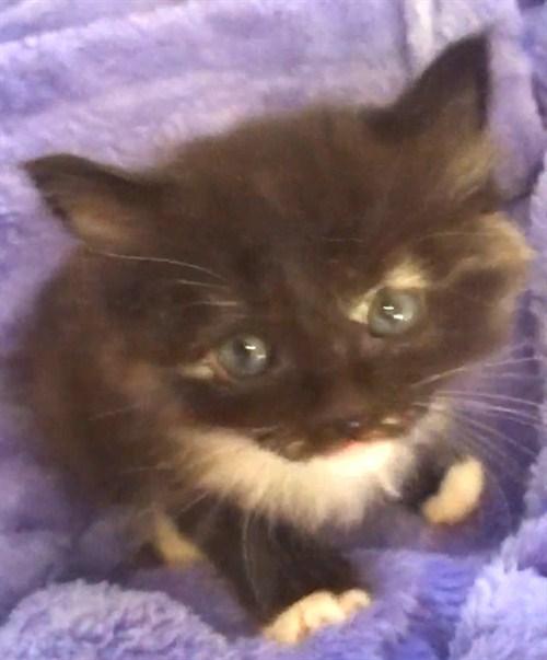 how to make kitten take drontal