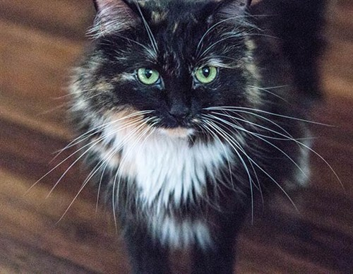 California rescue cat Sophie sets new record for longest ...