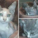 Burned Mama cat and her kittens recovering as suspect sought