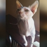 Woman's Stolen Sphynx Cats are Found and Recovered