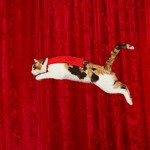 Alley the Cat Sets Guinness Record for Longest Cat Jump