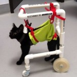 Shelter Helps Paralyzed Kitten to Walk Again