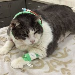 37 Pound Cat Biggie is Recovering After Surgery