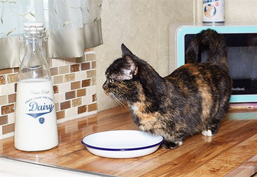 lilieput_-_shortest_cat_guinnessworldrecords2_500x345