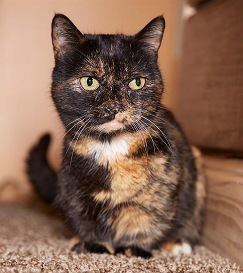 lilieput_-_shortest_cat_guinnessworldrecords3_500x560