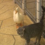 Cat and Duck are Friends