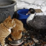 Duck and Cats are Friends