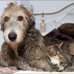 Roomba and Aoife: Orphaned kitten and Irish wolfhound are best friends