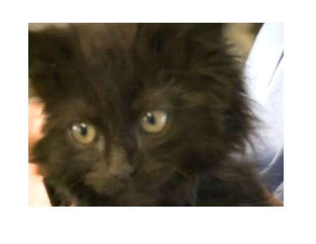 Kitten with neurological issues gets help