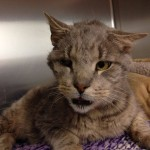Zeb – One-eyed senior FIV+ cat with 4 teeth finds a home