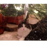 Anakin the 2 Legged Cat Playing Under Christmas Tree