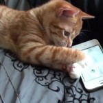 Cute Kitten Playing on iPhone Cat App