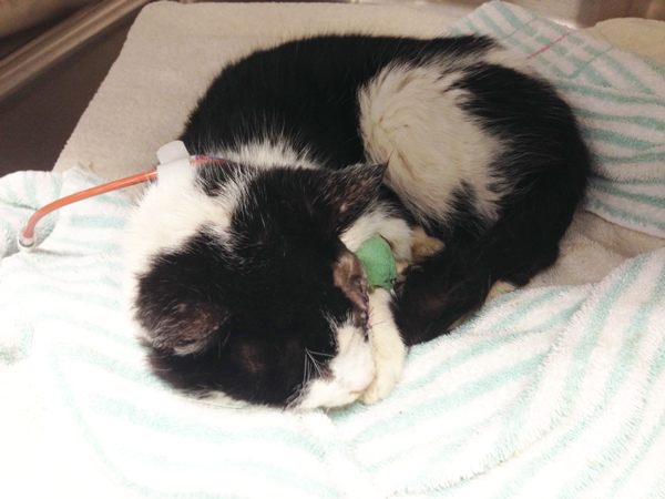 "Miracle ""Zombie"" Cat Bart will not be returned to his owner, Humane Society says"