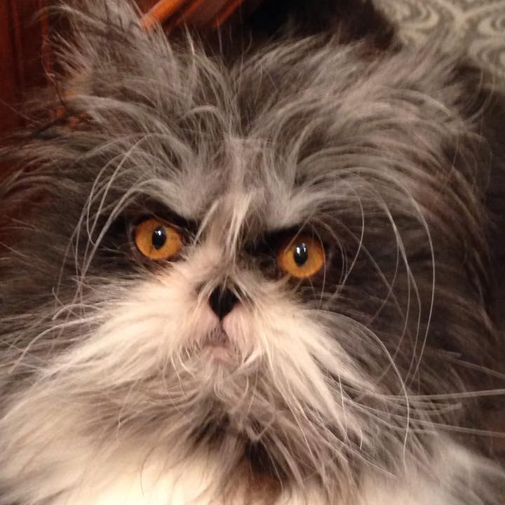 Crazy Cat Hair Pictures