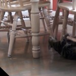 Cat Thinks Kitchen Chairs are Monkey Bars