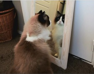 Cat tries to catch his own reflection in the mirror