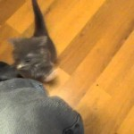 Determined kitten repeatedly climbs owner's leg