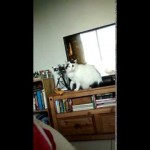 Obedient cat puts toy back when told