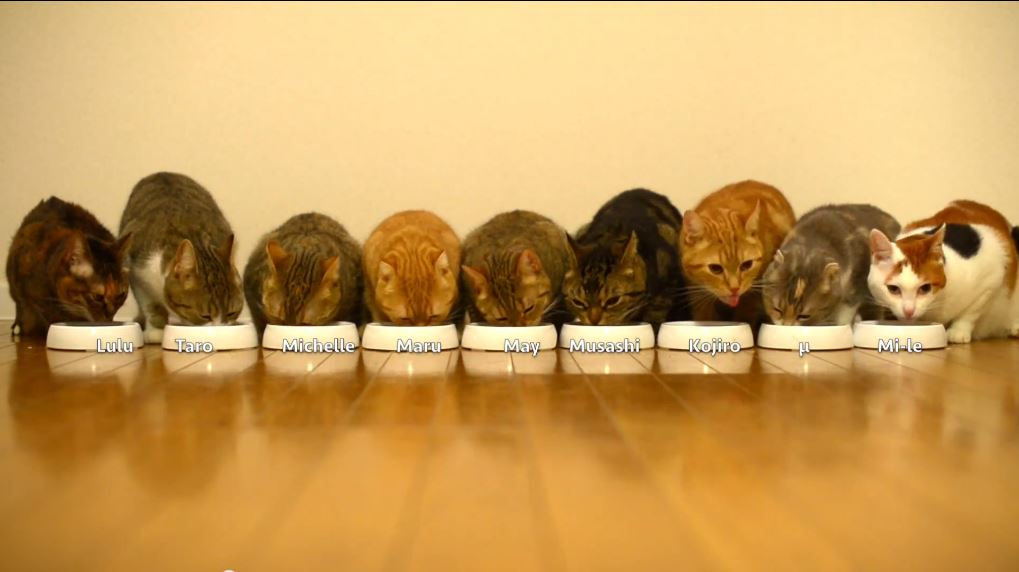 9 cats eat their dinner in all in a row life with cats