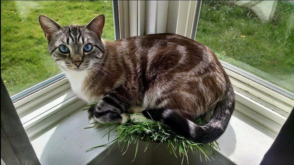 Samson and the cat grass