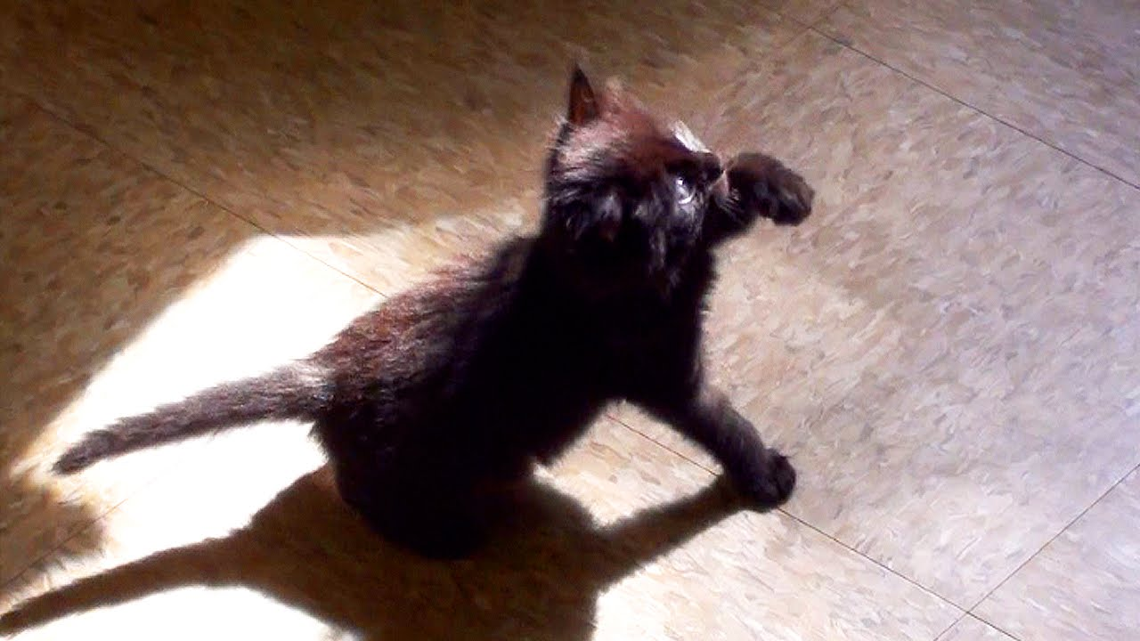 Cute Black Kitten Shadow Boxing!   Life With Cats: http://www.lifewithcats.tv/2015/03/02/2-cute-black-kitten-shadow-boxing/