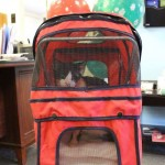 Bart the miracle cat gets a stroller