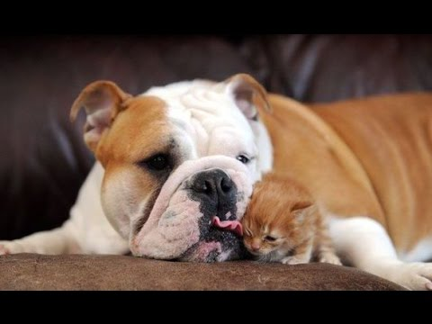 Big Dogs Playing with Little Kittens Compilation
