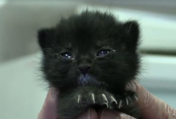 Hungry 10-day-old orphan kitten gets bottle feeding thanks to shelter's Kitten Triage program
