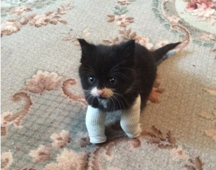 Pounds For Peanut Kitten With Deformed Legs Gets Help