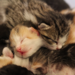 Baby Kittens – 6 Days Old! Born in foster care