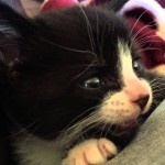 Tired 4 week old foster kitten meows sweetly while falling asleep