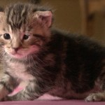 Helpless Kitten Rescued At 8 Days Old, Now Eyes Opened And Being Socialized