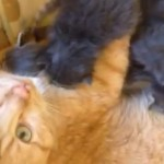 Henry and his foster kittens