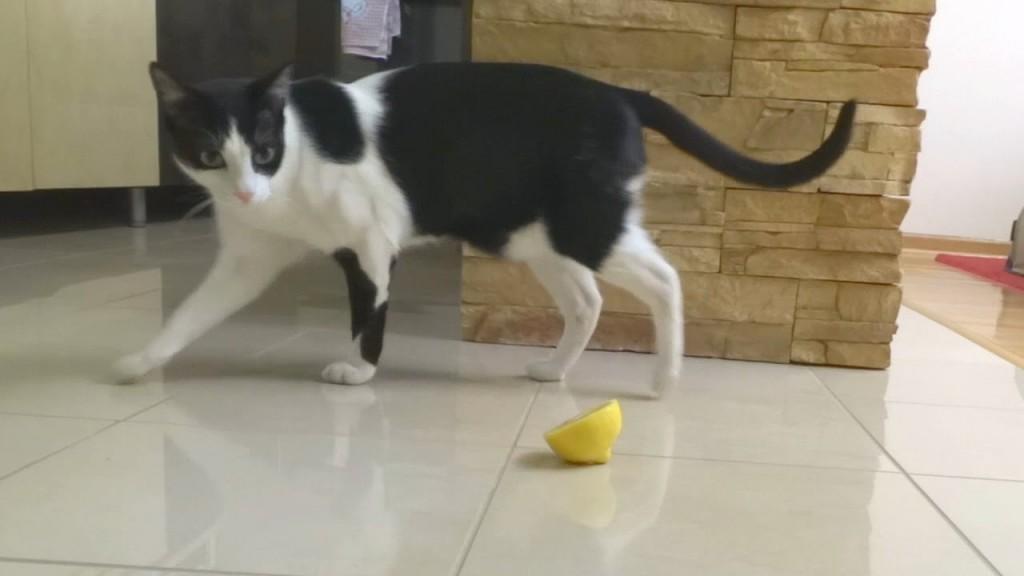 Cat and Lemon