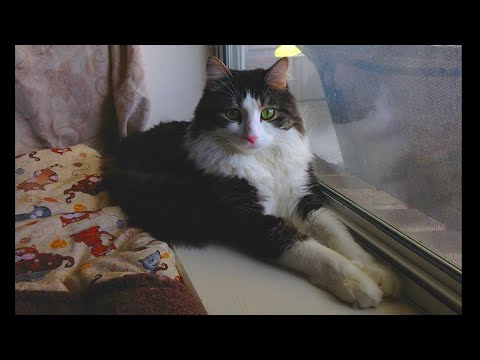 Anakin The Two Legged Cat paws at the window & blinds