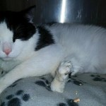 6 legged cat Pauly to get surgery to remove extra legs