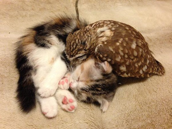 owlcat-1