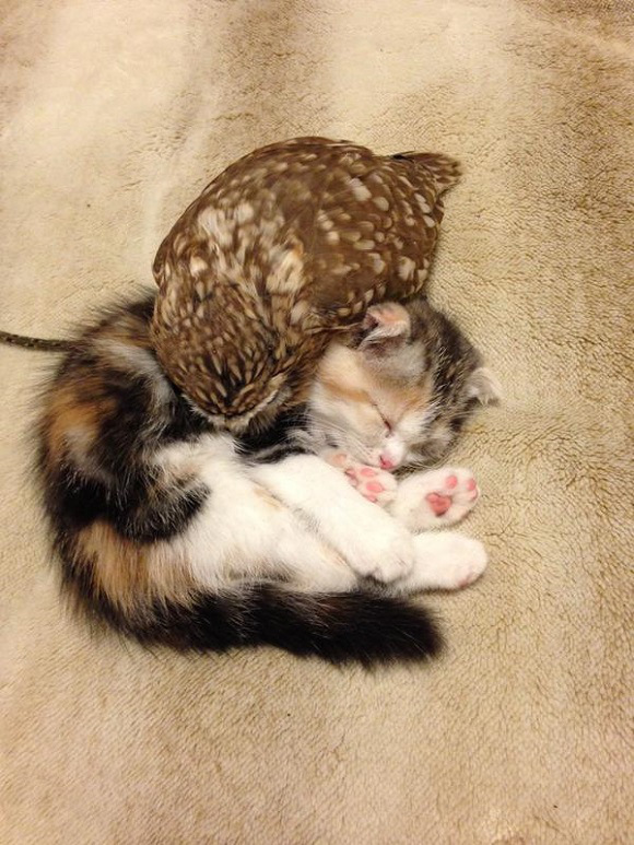 owlcat-2