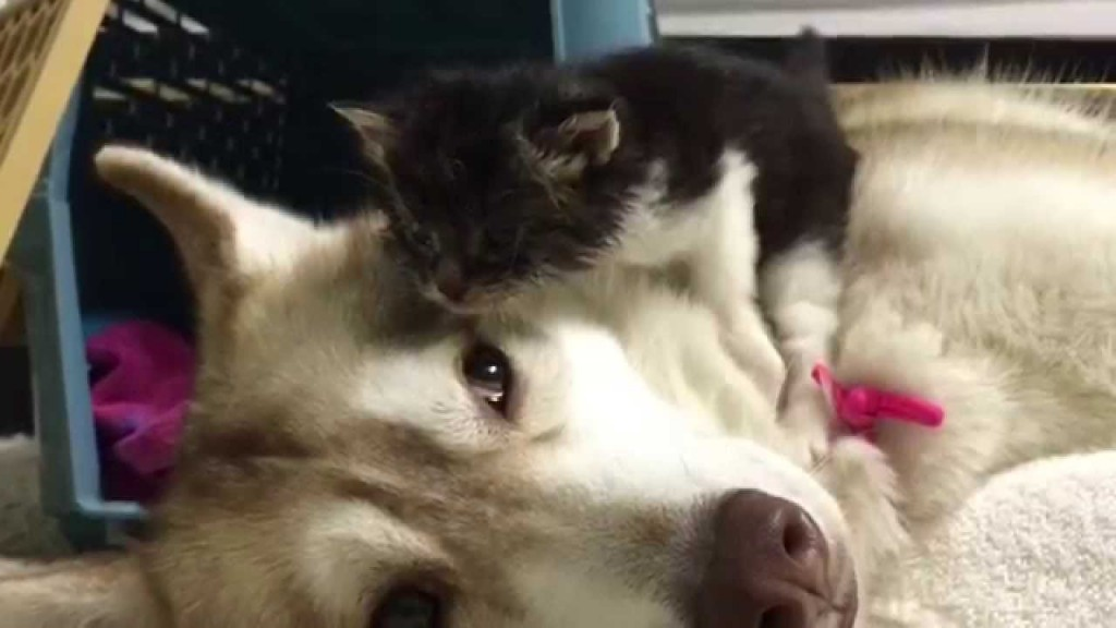 Rosie: Rescued kitten and Husky are best friends
