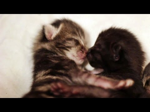 Tiny Foster Kittens Kissing