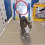 Big boned Bumble – the cat jumping through hoops to shed the pounds