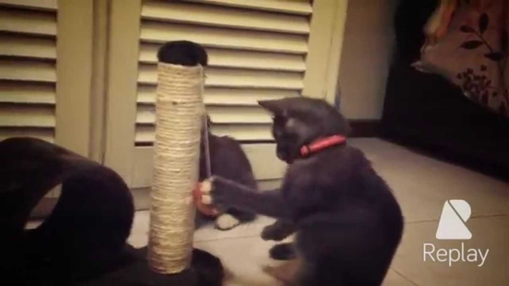 """Funny Cute """"Cat Boxing"""" with Toy"""