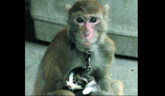 Chinese monkey adopts kitten