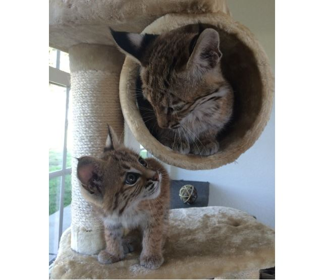 Rescued bobcat kittens are happily paired at animal refuge