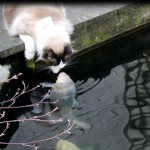 Timo The Cat And His Special Friendship With A Koi Fish