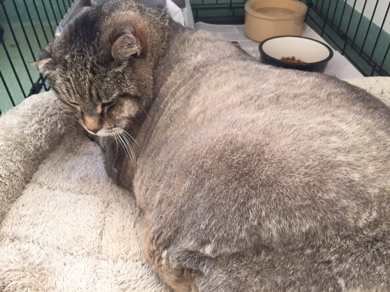 Admirable Neglected Obese Senior Cat Is Dumped In Park Life With Cats Short Hairstyles For Black Women Fulllsitofus