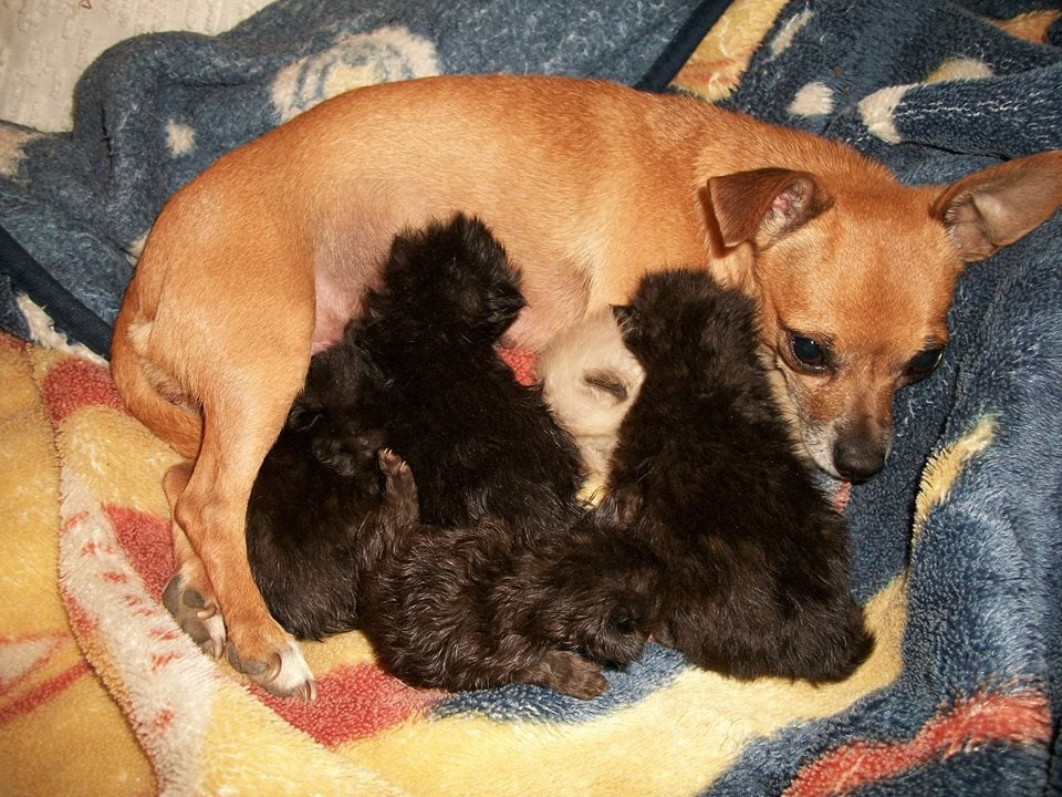 Chihuahua dog mothers foster kittens