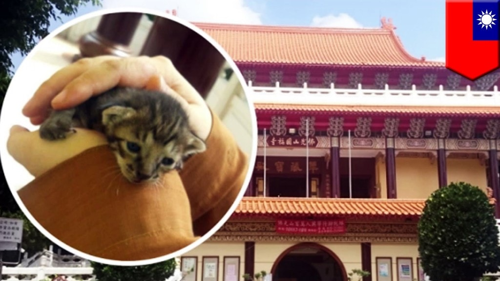 Lost kitten will become temple cat after monks rescue it from inside the temple walls