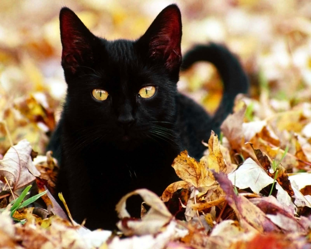 Black Cats and Superstition